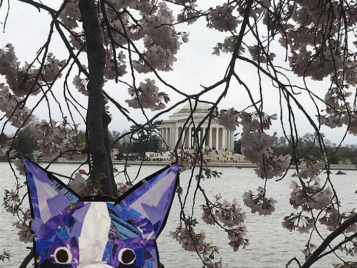 Bosty visits the cherry blossoms in DC by Megan Coyle